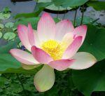 1117px-Sacred_lotus_Nelumbo_nucifera